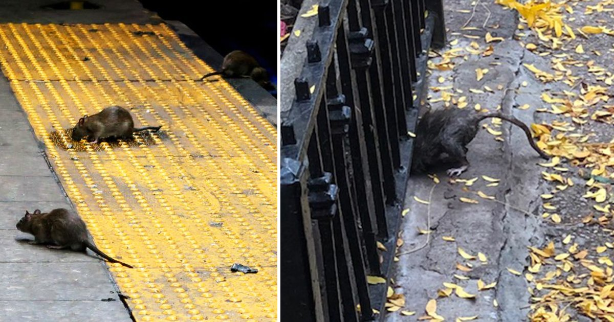 hadasf.jpg?resize=412,275 - New York Central Park And The UWS Is Overrun With Big Fat Rats