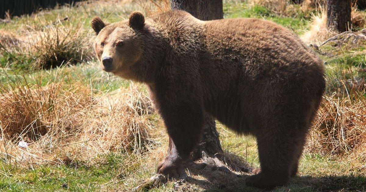 sud ouest e1606739914200.jpg?resize=412,275 - Pyrénées espagnoles : L'ourse Sarousse a été abattue par un chasseur