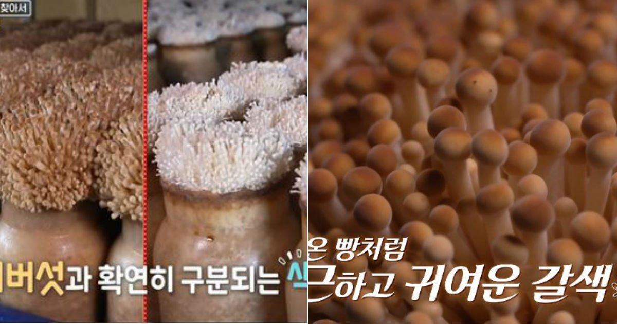 untitled 58.jpg?resize=1200,630 - 당신이 '흰색 팽이버섯' 말고 '갈색 팽이버섯'을 구매해야 하는 이유