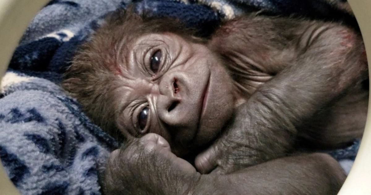 untitled design 3.jpg?resize=1200,630 - Photos Show Adorable Baby Gorilla That Was Born At The Zoo