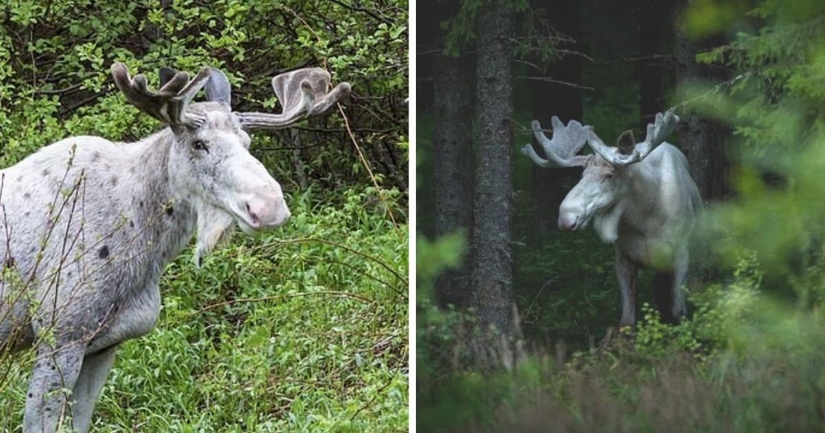untitled design 4 10.jpg?resize=1200,630 - Outrage As Rare White 'Spirit' Moose Is Shot By Poachers