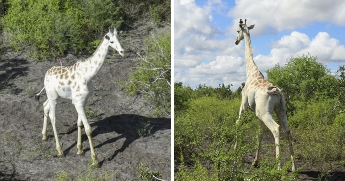 untitled design 4 11.jpg?resize=1200,630 - World's 'Last' White Giraffe Is Equipped With GPS To Protect It From Poachers
