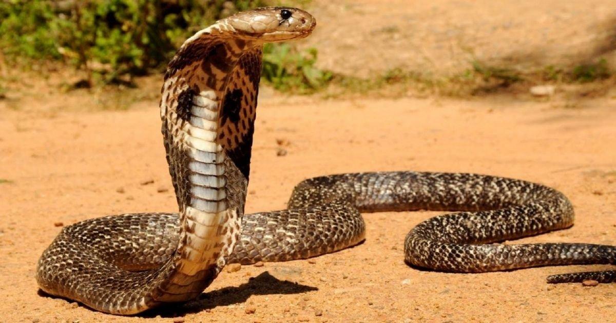 vonjour3 5.jpg?resize=412,232 - Inde : il se fait mordre par un cobra après avoir survécu au Covid, à la malaria et à la dengue