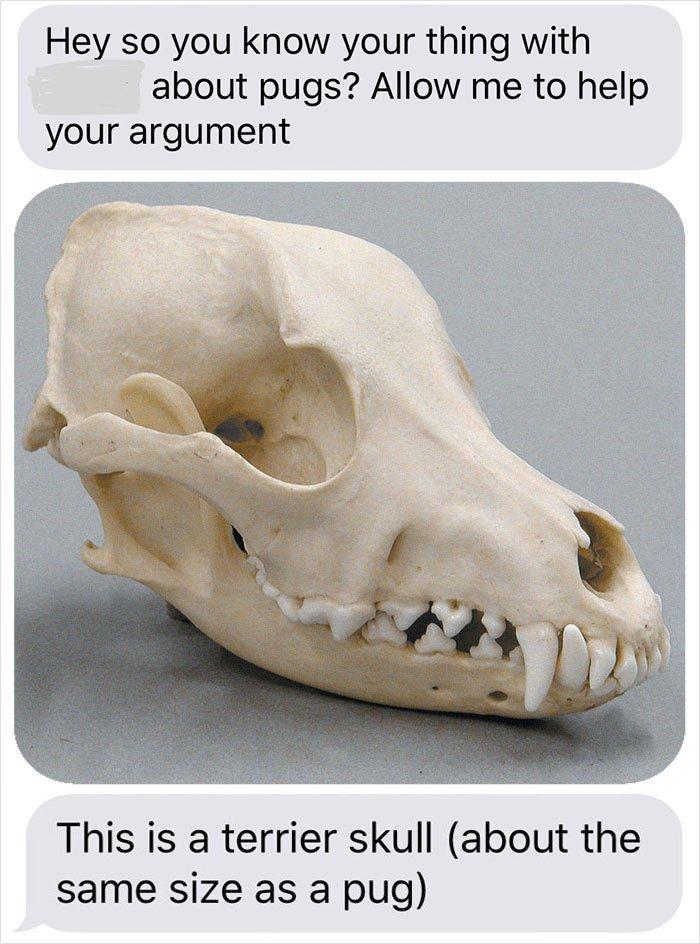 skull of a pug