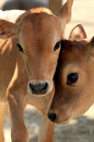 cute baby cows