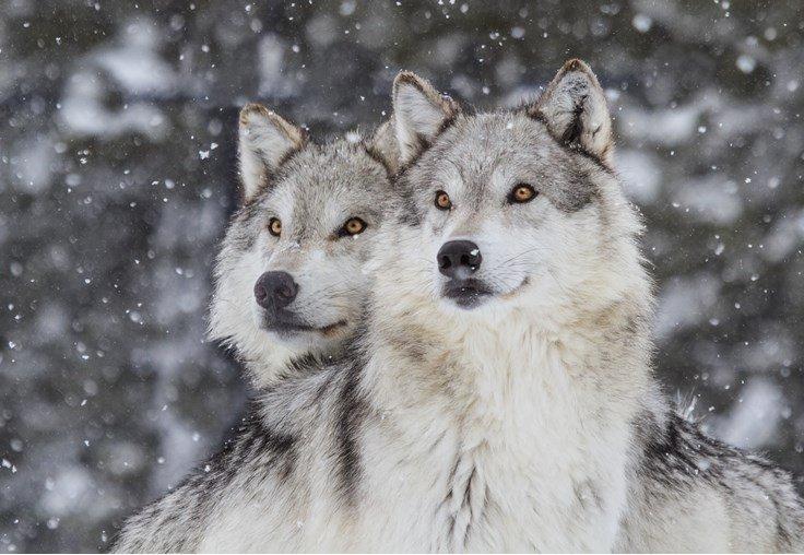 do wolves mate for life