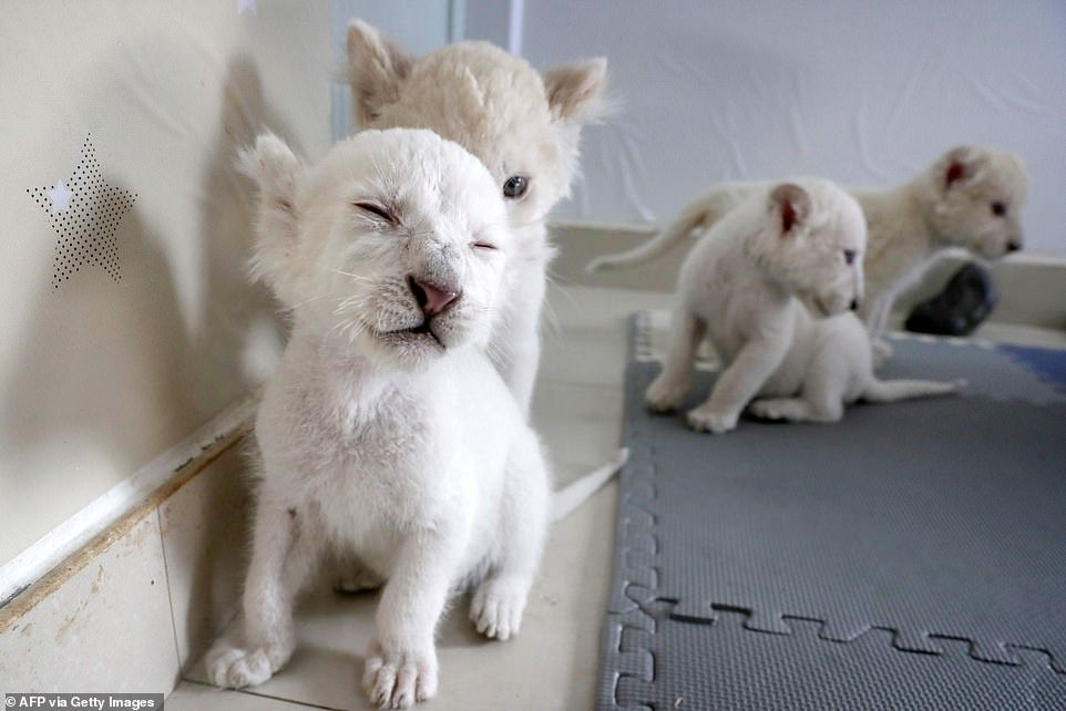 A set of extremely rare white lion cubs are preparing to make their first public debut after being born at a zoo in east China
