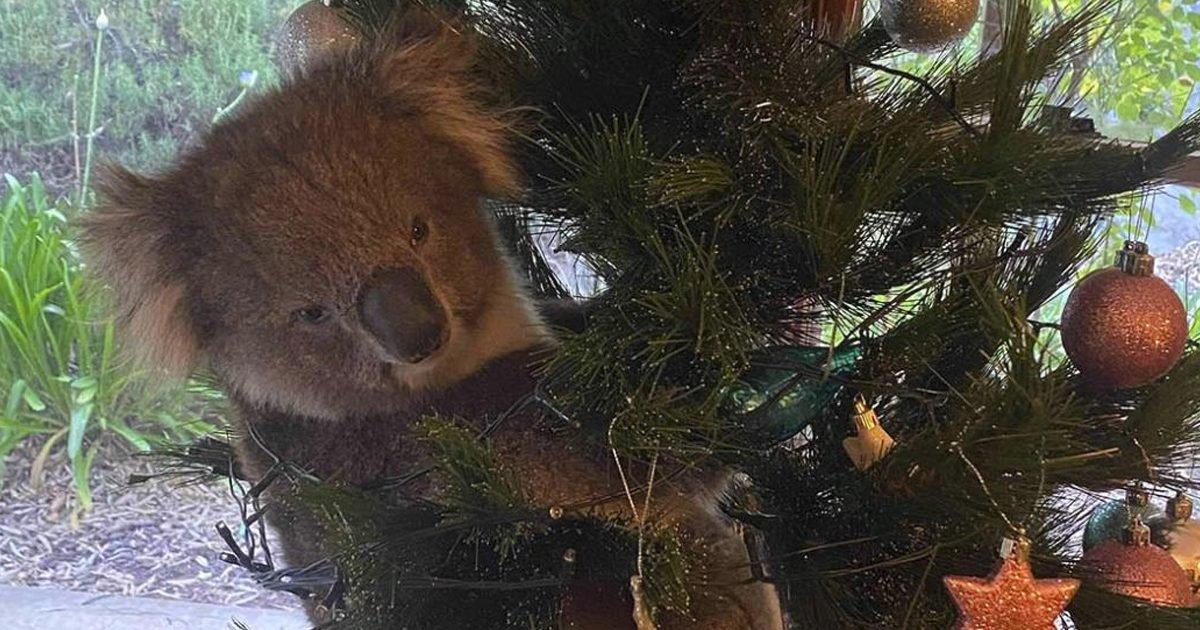 8494493 120420 cc koala christmas img e1607531967710.jpeg?resize=412,232 - Une famille australienne a découvert un koala dans leur sapin deNoël
