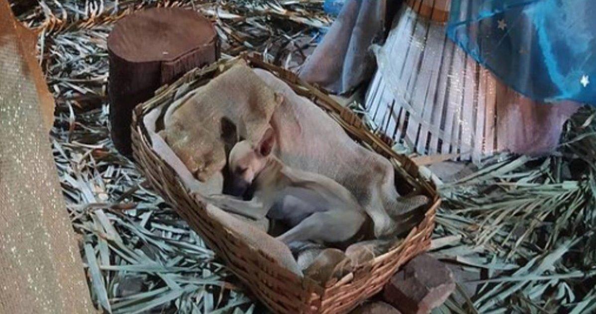 chiot dort dans creche noel nadia rosangella 002 e1607964519910.jpg?resize=412,232 - Brésil : Un chiot a élu domicile dans une crèchede Noël