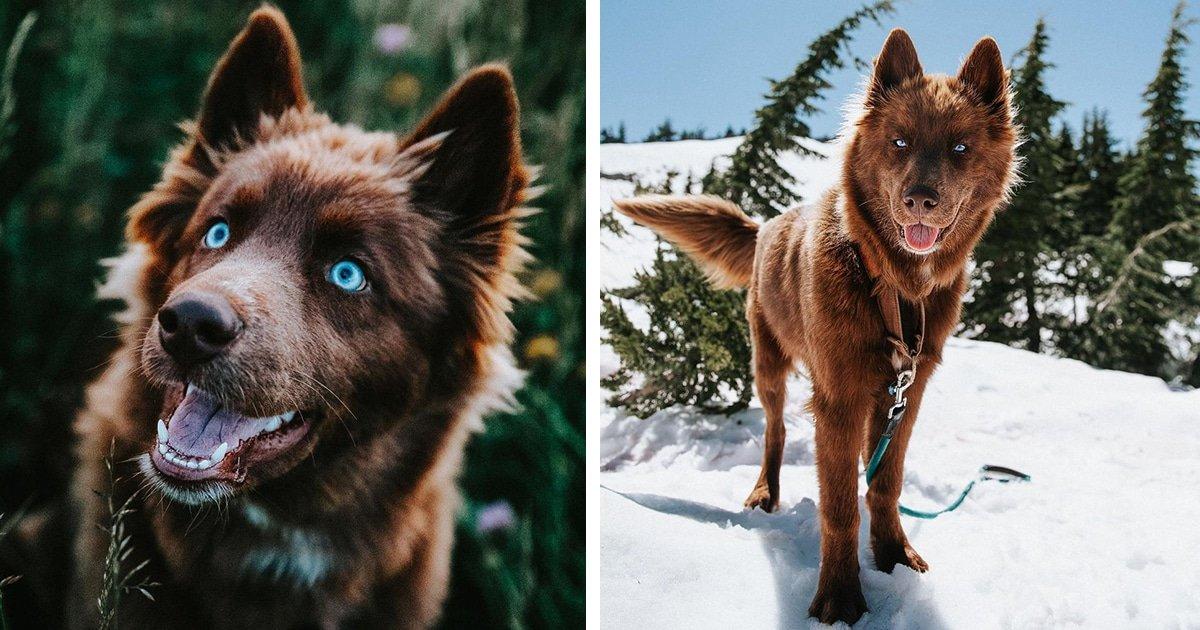 chocolate siberian husky quoi thumbnail.jpg?resize=1200,630 - Ce Husky sibérien est l'un des plus beaux chiens d'Instagram