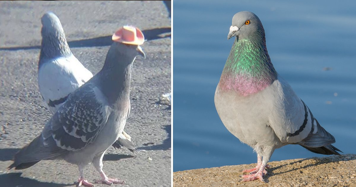 erwrwer.jpg?resize=1200,630 - Sitting Pigeons    A List Of Incredible Facts About The Humble Creature