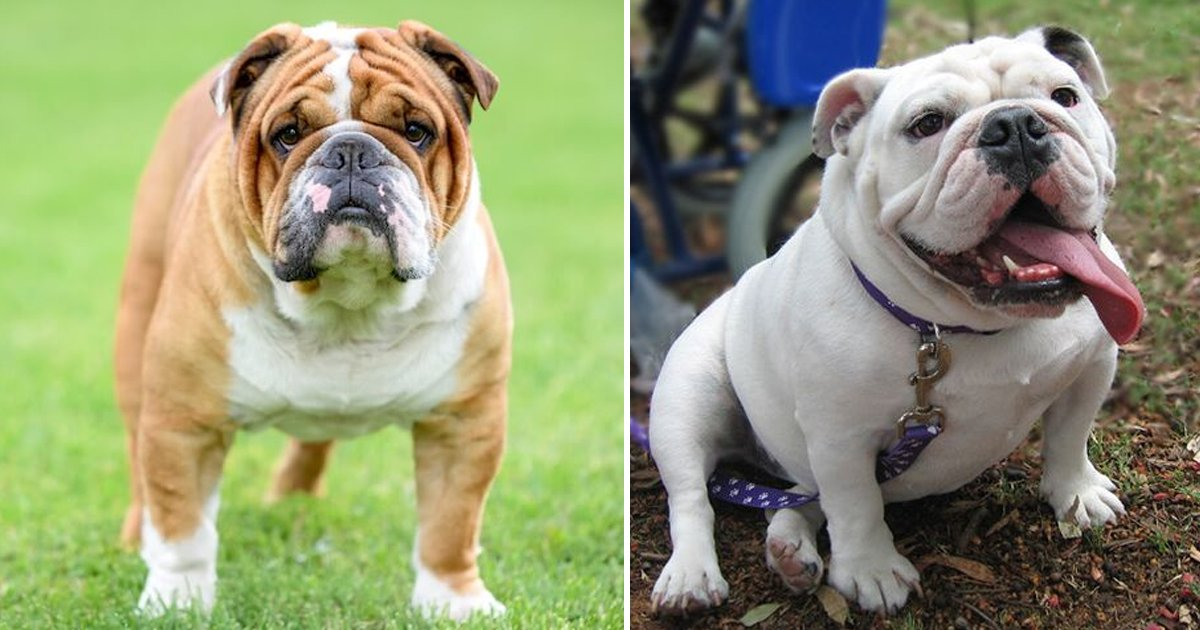 gagagag.jpg?resize=1200,630 - Victorian Bulldogs Are Fascinating Creatures & These Unique Facts Prove Why