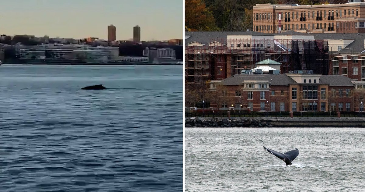 ggggggggg.jpg?resize=412,232 - Humpback Whale Spotted Swimming In The Hudson River Near Midtown