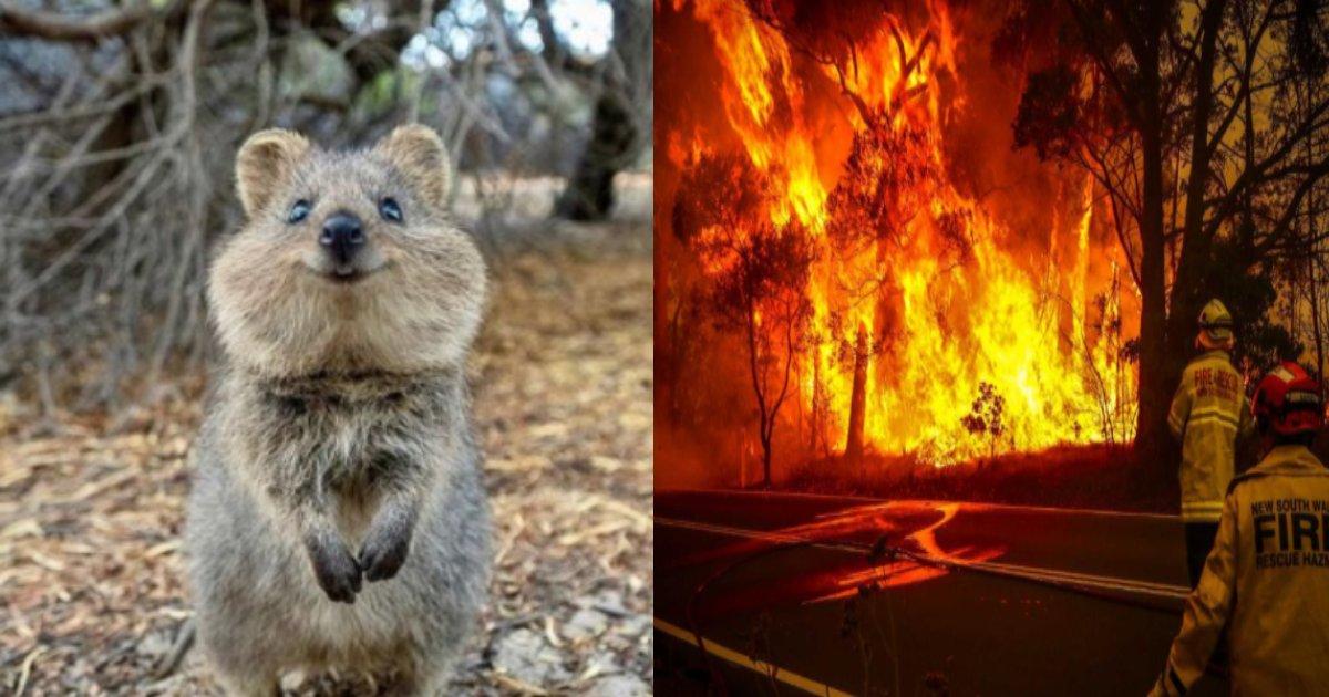 kuokka kazi.png?resize=1200,630 - 世界で最も幸せな動物クオッカ、オーストラリアの山火事で絶滅危惧種に…