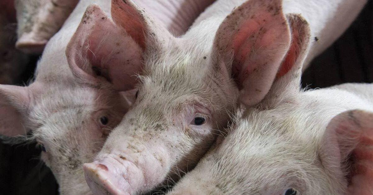 mjaymdeyzjrlzjk4yzcyndfhowm5mthhody2mtvinte0mgy5yja e1607024075240.jpeg?resize=412,232 - Bien-être animal : L214 dénonce un élevage porcin de la « Filière Préférence » Herta