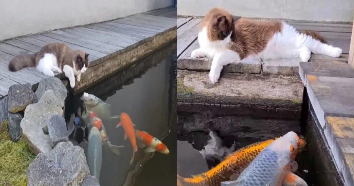 neko koi.png?resize=412,232 - 池にいる鯉を覗いてキスをする猫が可愛すぎる(映像)