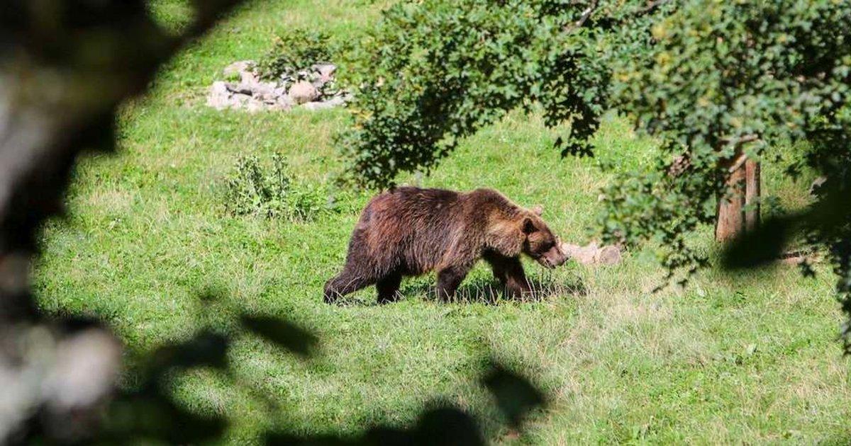 ours.png?resize=412,232 - Sondage : 6 Français sur 10 sont favorables au lâcher d'un nouvel ours dans les Pyrénées