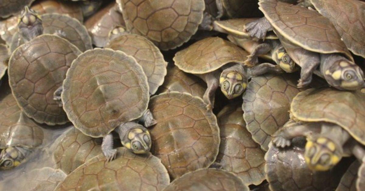 pjimage 4 1608106396 e1608231095317.jpg?resize=412,232 - Plus de 92 000 tortues géantes naissent sur une plage brésilienne