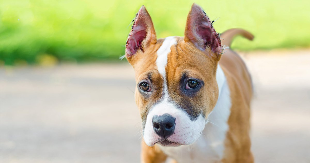 ssdsd.jpg?resize=1200,630 - Here's Why Cropping Dogs' Ears Is Something You Shouldn't Be Doing