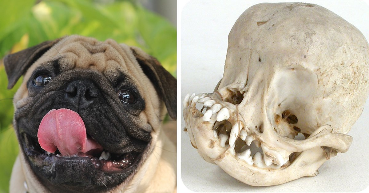 trtrtrggg.jpg?resize=1200,630 - These Skull Of A Pug Images Show How Prone These Dogs Are To Health Problems