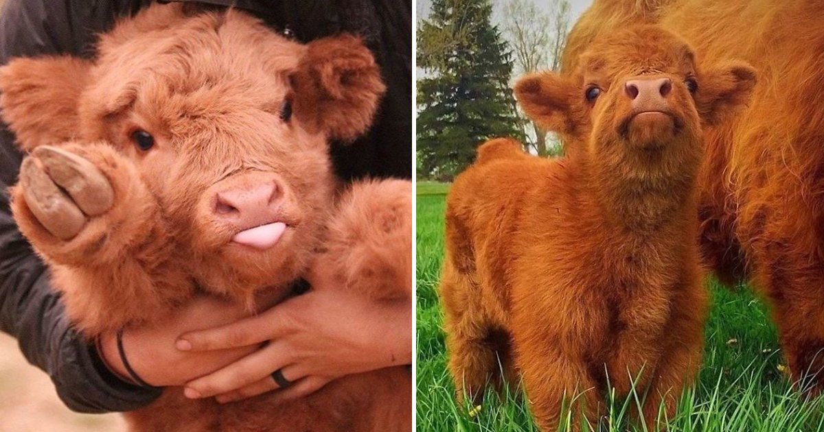 trtrtsdsfsdf.jpg?resize=412,232 - Cute Baby Cows Are Trending And One Look Is All It Takes To Fall In Love