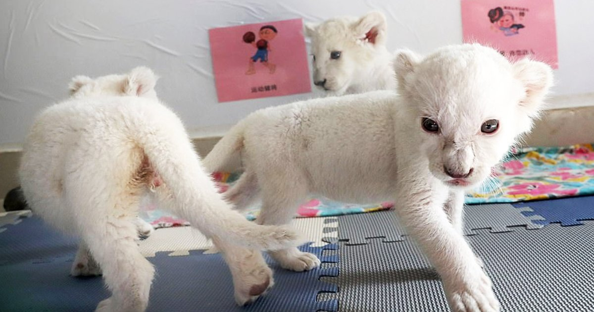 twetewt.jpg?resize=1200,630 - Four White Line Cubs Born At A Chinese Zoo Are Ready To Meet The Public