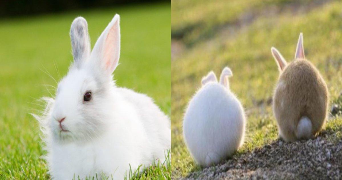 usagi sippo.png?resize=1200,630 - 「私たちが知っている丸いウサギのしっぽ、 『収納型』ということが明らかになりました」