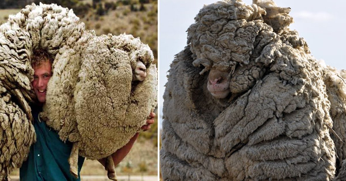 werewr.jpg?resize=1200,630 - This Fluffy Sheep Shrek Steered Clear Of Being Sheared For 6 Years