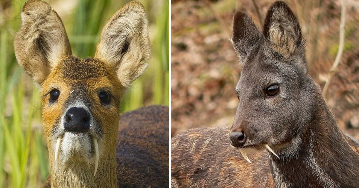 wewewe 1.jpg?resize=1200,630 - Vampire Deer With Fangs Exist And They're As Scary As It Gets