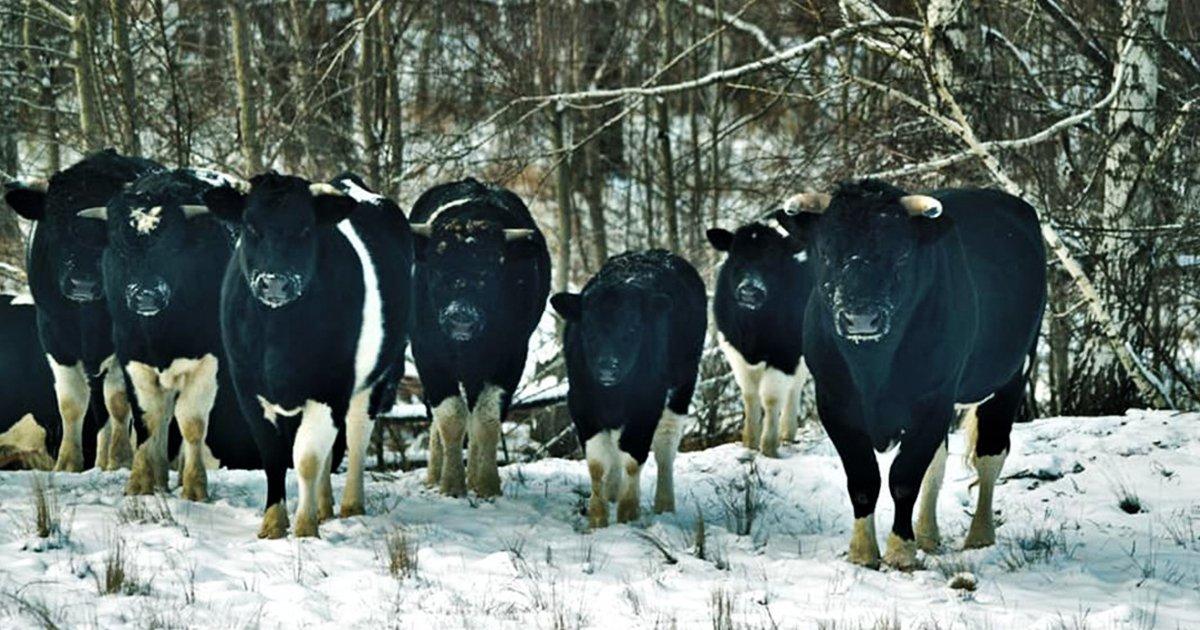 1 187.jpg?resize=1200,630 - Chernóbil: Vacas Abandonadas Cerca De La Zona Nuclear Adoptan Comportamientos De Animales Salvajes