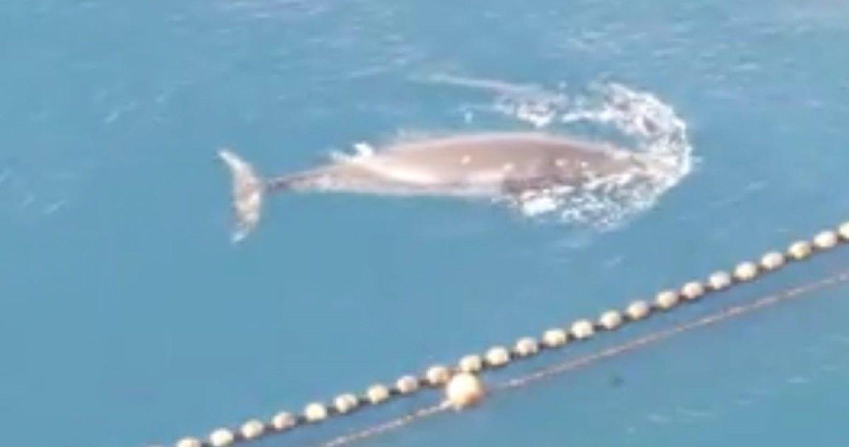 12 whales.jpg?resize=1200,630 - Des pêcheurs japonnais ont tué une baleine en la capturant 19 jours puis en la noyant