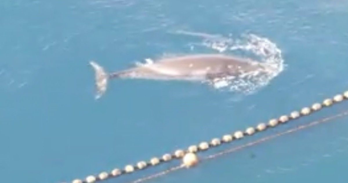 12 whales.jpg?resize=412,232 - Des pêcheurs japonnais ont tué une baleine en la capturant 19 jours puis en la noyant