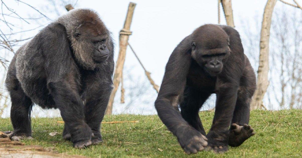 2 gorilla.jpg?resize=412,232 - Deux gorilles du zoo de San Diego ont été contaminés par le coronavirus