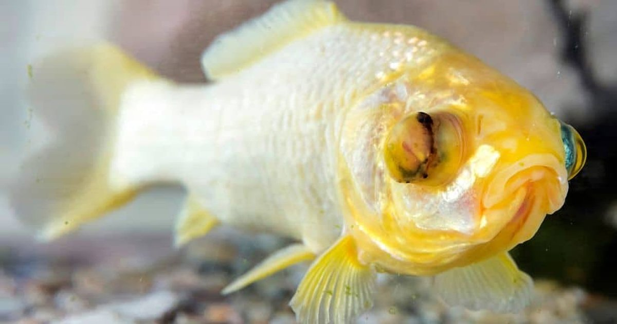 2312.jpg?resize=1200,630 - Oldest Goldfish Named George Dies At The Incredible Age Of '44'
