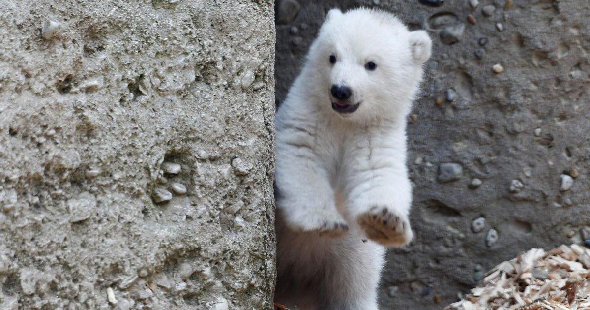 2b7ip4mwualx3si772f4pn57ra e1609777391854.jpg?resize=412,232 - Un ourson polaire est né au parc zoologique de Mulhouse
