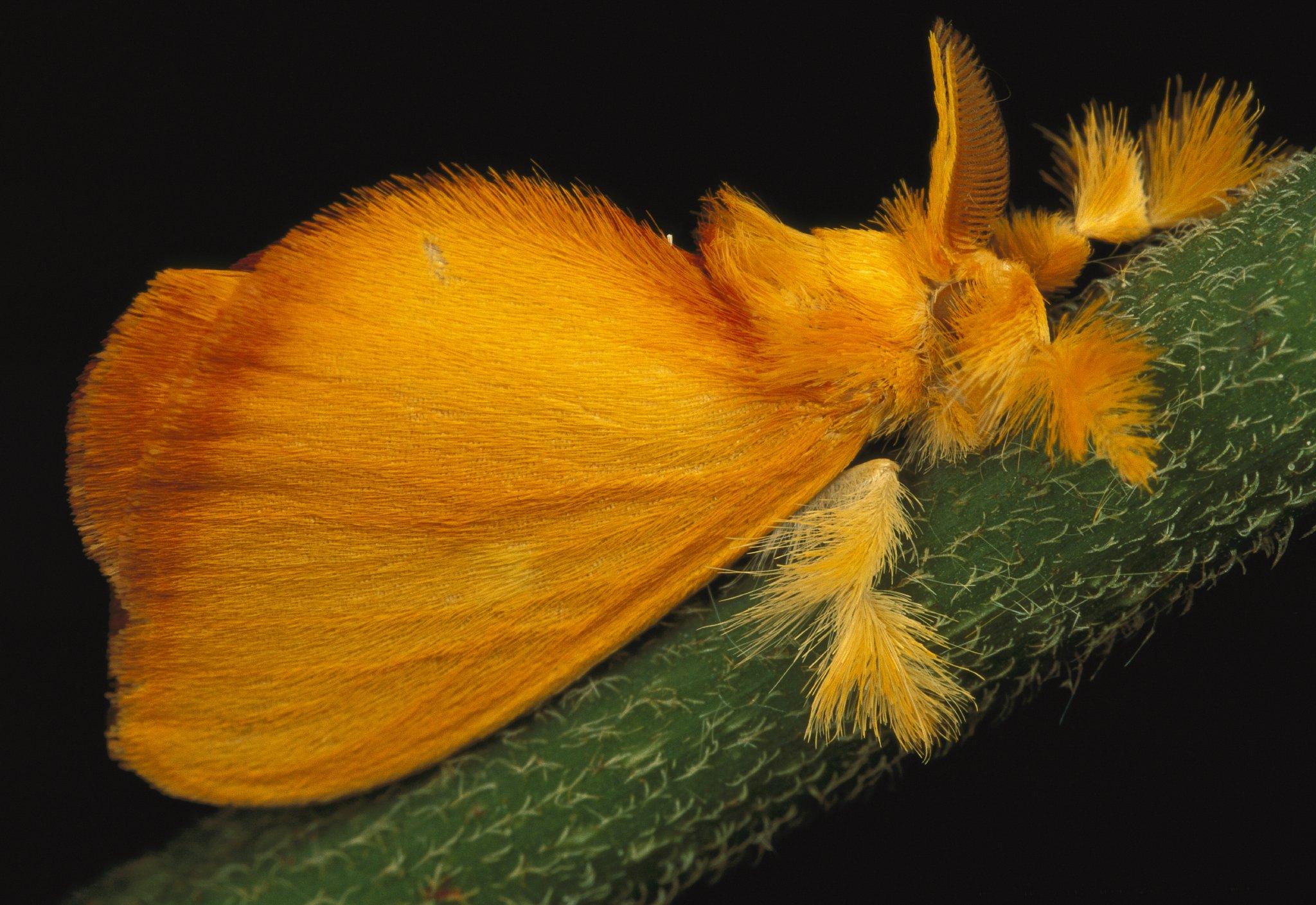 furry moths