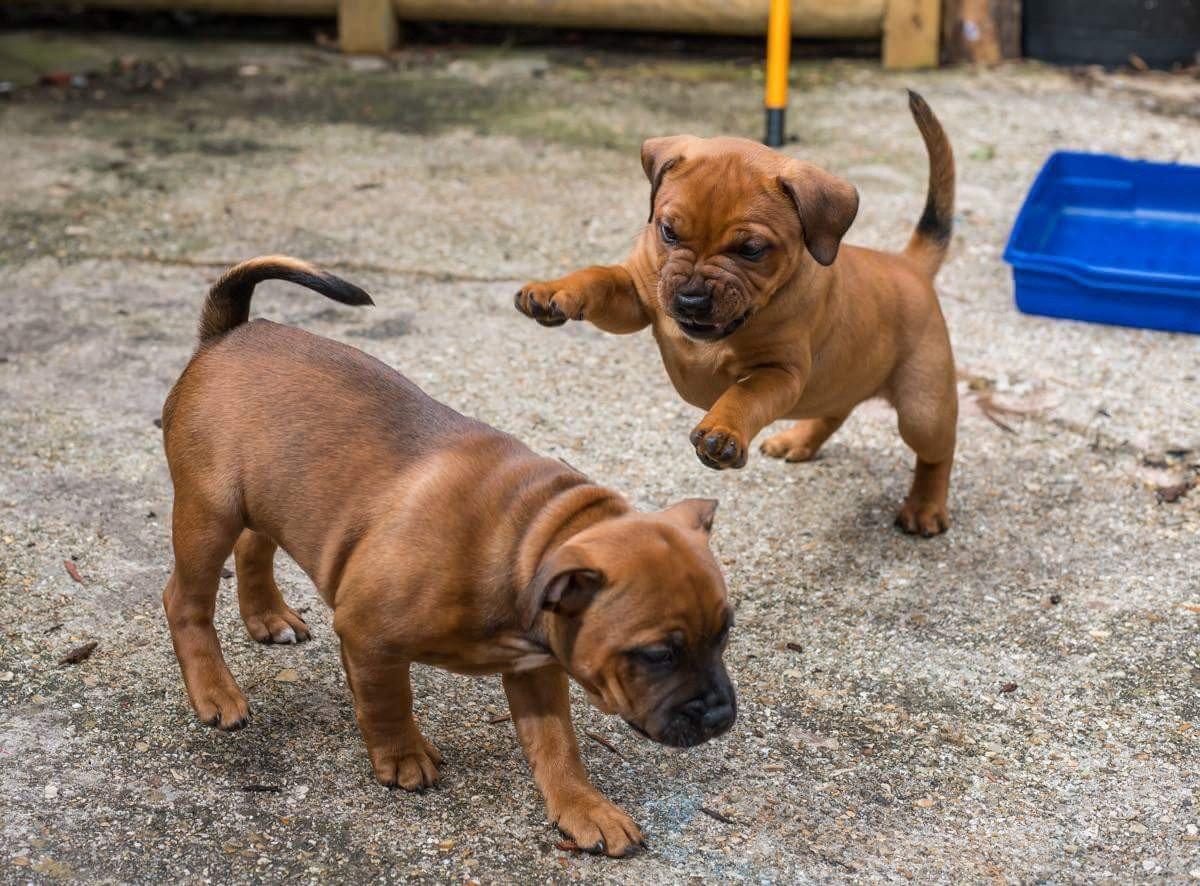 staffie dogs