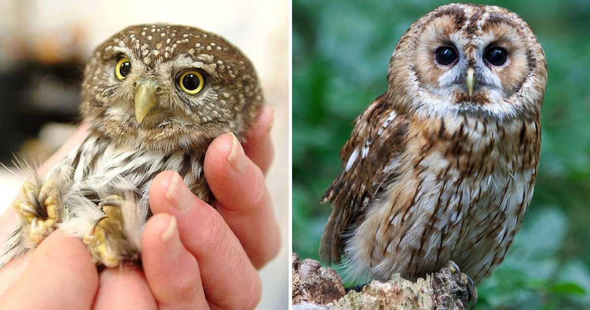 adsaff.jpg?resize=412,232 - Surprising Owlet Facts We Bet You Didn't Have A Hooting Clue About