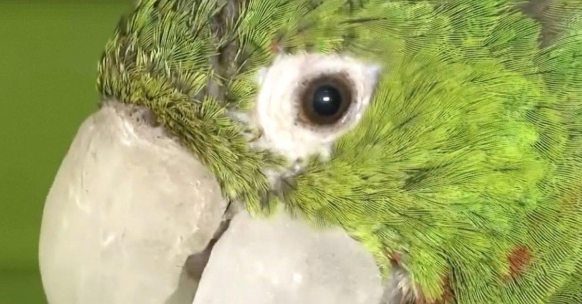 dc53130a f9f1 42b7 91f4 6422011c3366 thumbnail e1610731064857.png?resize=412,232 - Brésil : un perroquet reçoit un tout nouveau bec après avoir été secouru