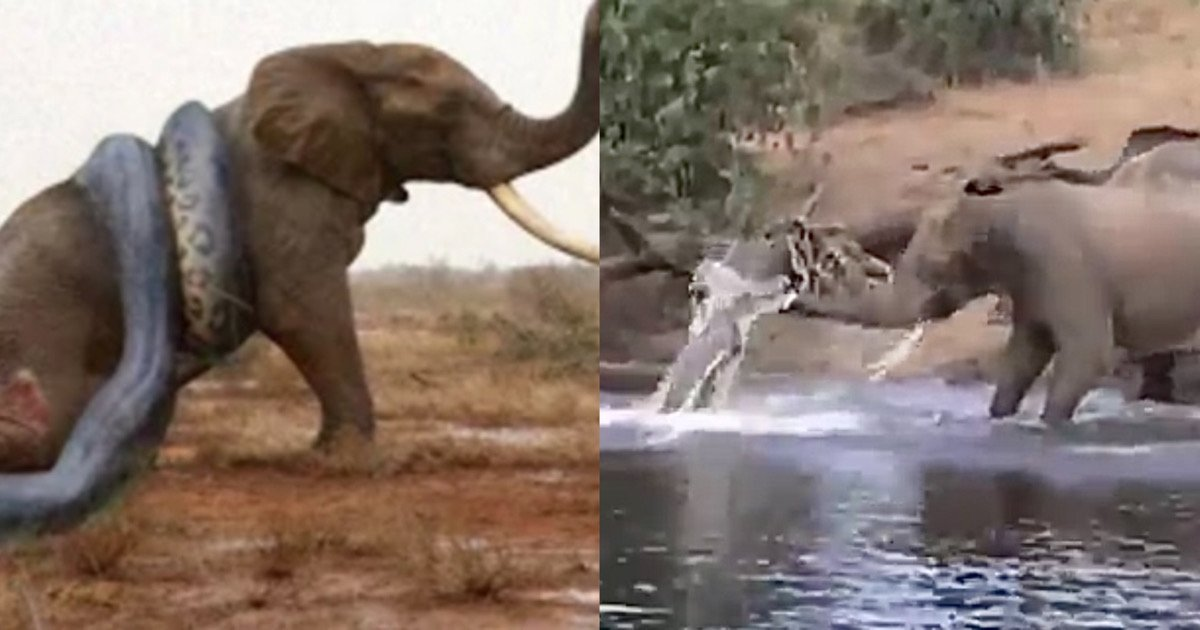 "ed201f62 3ebe 46da aa57 ab0d50ecbaf2.jpeg?resize=412,275 - ""순식간에 코끼리가..""…상상을 초월하는 '거대 뱀'에게 잡혀 물에 끌려들어가는 '코끼리' (+영상)"
