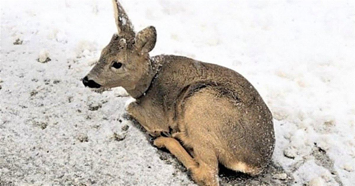 faon.png?resize=1200,630 - Ain : deux jeunes ont secouru un faon retrouvé inerte dans la neige au bord de la route