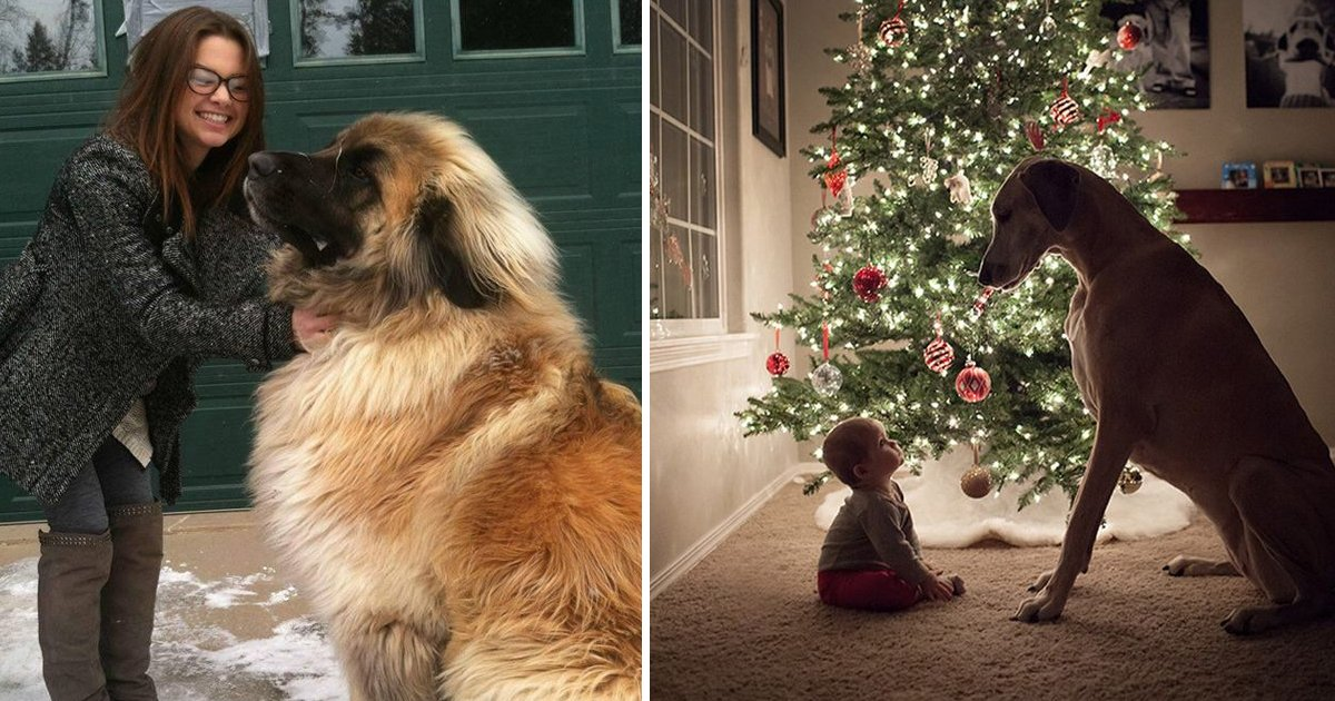 fff.jpg?resize=1200,630 - We're Sure You'll Fall In Love With This Collection Of The Cutest Big Dogs