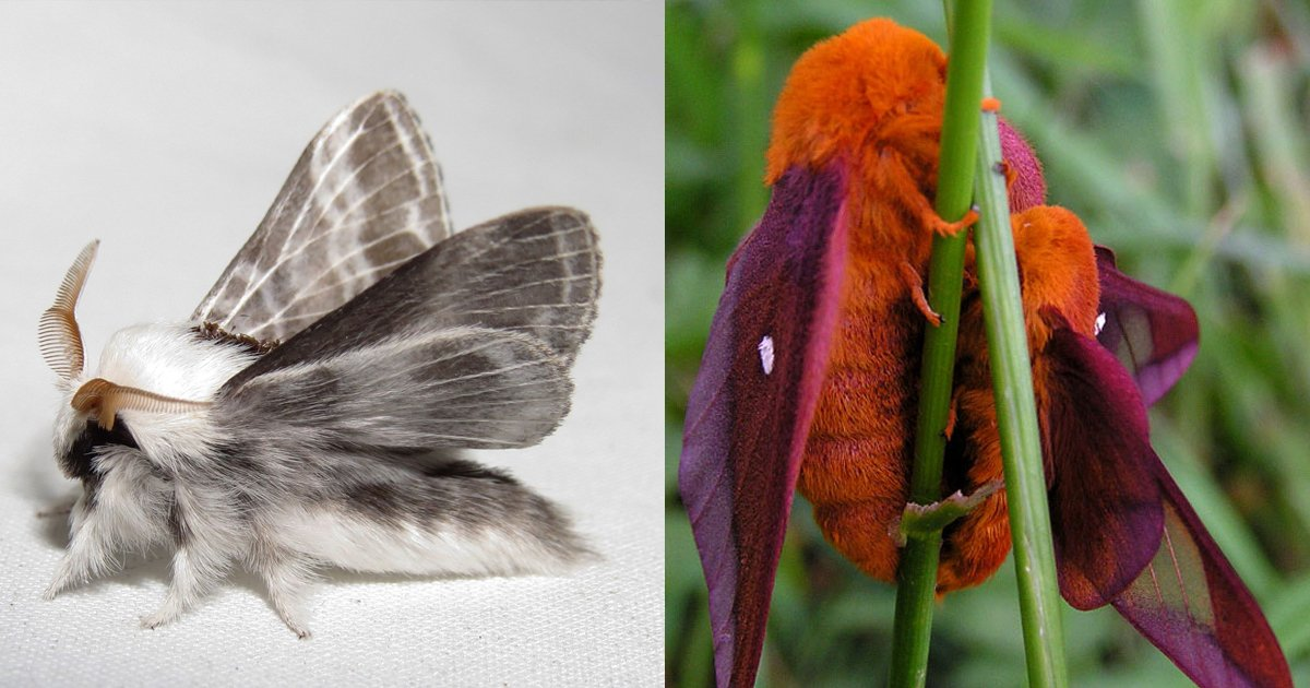 fsfsg.jpg?resize=1200,630 - Furry Moths Exist And These Species Are As Cute As A Button