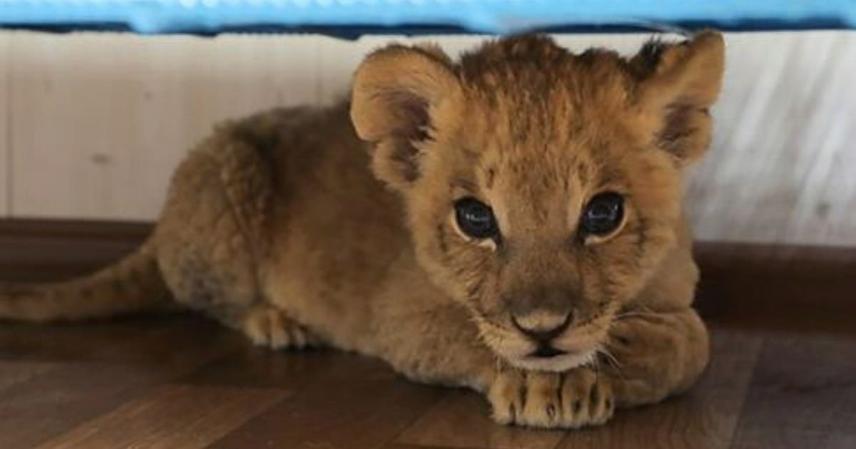 grom6.jpg?resize=1200,630 - Lion Cub Has Both Of Its Eyes Removed After Being Smuggled 1,200 Miles By Bus