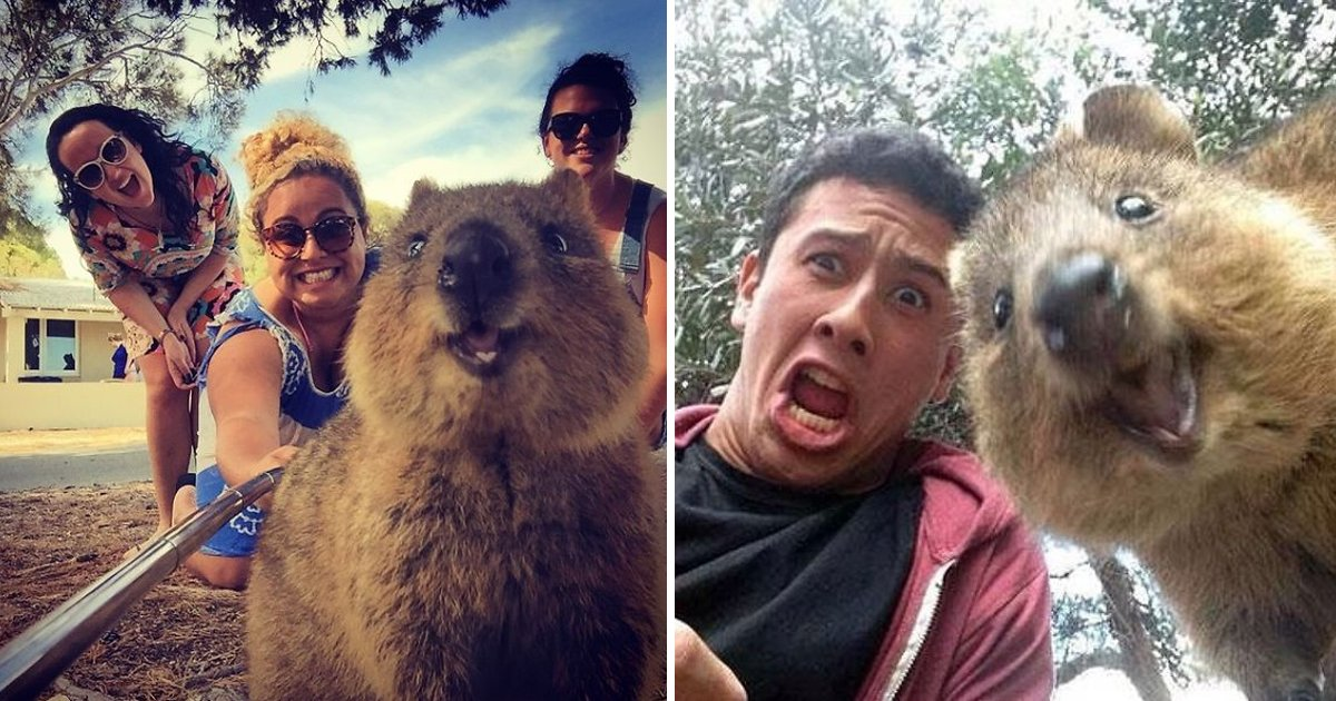 gsgsggg 1.jpg?resize=412,232 - The Irresistibly Adorable Quokka Selfie Trend Is On Everyone's Mind & Here's Why