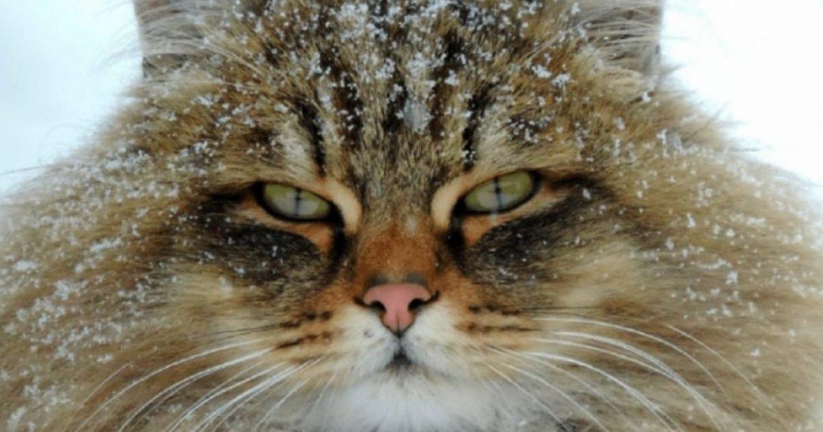 """image 14 1280x720 e1610523043634.jpg?resize=412,232 - Russie : Découvrez """"Catland"""", une ferme de magnifiques chats sibériens"""