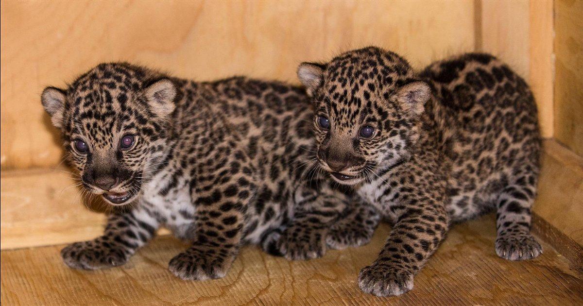 jaguars.png?resize=1200,630 - Nicaragua : un zoo a sauvé deux bébés jaguars des mains de trafiquants