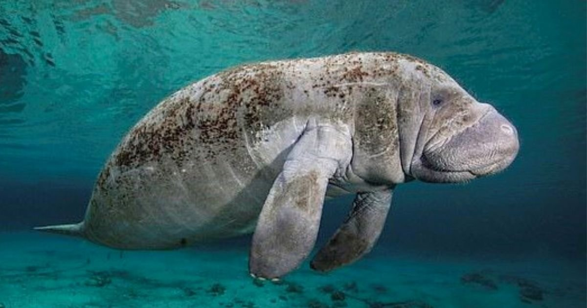 manatee5.jpg?resize=1200,630 - Manatee Is Found With 'TRUMP' Carved Onto Its Back, US Fish And Wildlife Service Is Now Searching For The Person Responsible