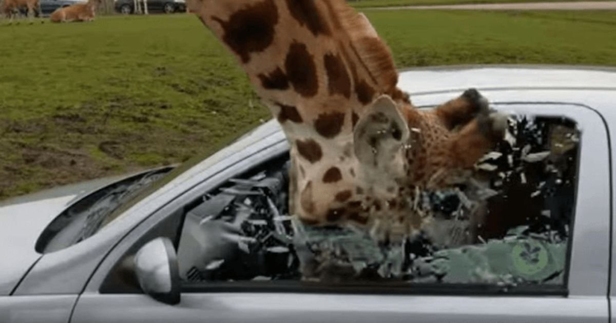 1 80.jpg?resize=1200,630 - A Giraffe Smashed Its Head At A Car Window In West Midlands Safari Park