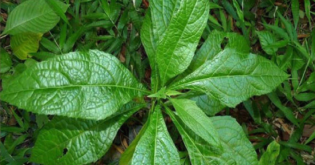 10 zeb a pik.jpg?resize=1200,630 - Et si une plante endémique des Antilles était la clé pour lutter contre le coronavirus